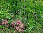 Shenandoah National Park, VA<br /> Pink azaleas (Rhododenderon nudiflorum) in an understory of a spring hardwood forest