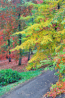 Path in Hoyt Arboritum with fall colored tupolo trees (Nyssa sylvatica). Washington Park. Portland. Oregon