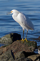 Snowy Egret (egretta thula) along the San Francisco Bay shoreline. The snowy egret is in the heron family.