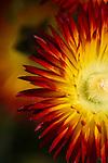 BLUE RIBBON/1st place in flower category   Summer Straw Flower<br /> Mariposa County Fair - Award Winning Images<br /> Fine Art Landscape  <br /> Photo by Joelle Leder Photography Studio ©