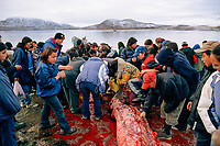 Inuit from Cape Dorset gather round the carcass of a Beluga whale, Delphinapterus leucas, for meat. Nunavut, Canada, Arctic