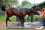 LOUISVILLE, KY - APRIL 20: Chad Brown trainees Shagaf (front) and My Man Sam are bathed after exercising at Churchill Downs, Louisville KY. The third horse in the back is the stable pony Tobias. (Photo by Mary M. Meek/Eclipse Sportswire/Getty Images)