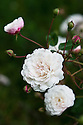 Rosa 'White Pet', late June. One of the oldest polyantha roses, it produces sprays of rosette-shaped, double white flowers from red buds which contrast with deep green leaves. Originating from Henderson in the USA in 1879, it is a sport of the old French Sempervirens climber Rosa 'Félicité Perpétue'.