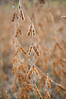 Soybean seeds, New Jersey