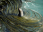 Fur Seal amongst kelp at Taiaroa Head on the Otago Peninsula in New Zealand.