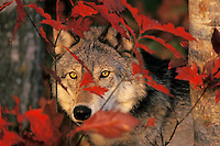 Gray wolf with fall color.