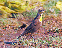 Female yellow-headed blackbird with insects