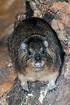 rock hyrax, vertical looking and snarling at camera
