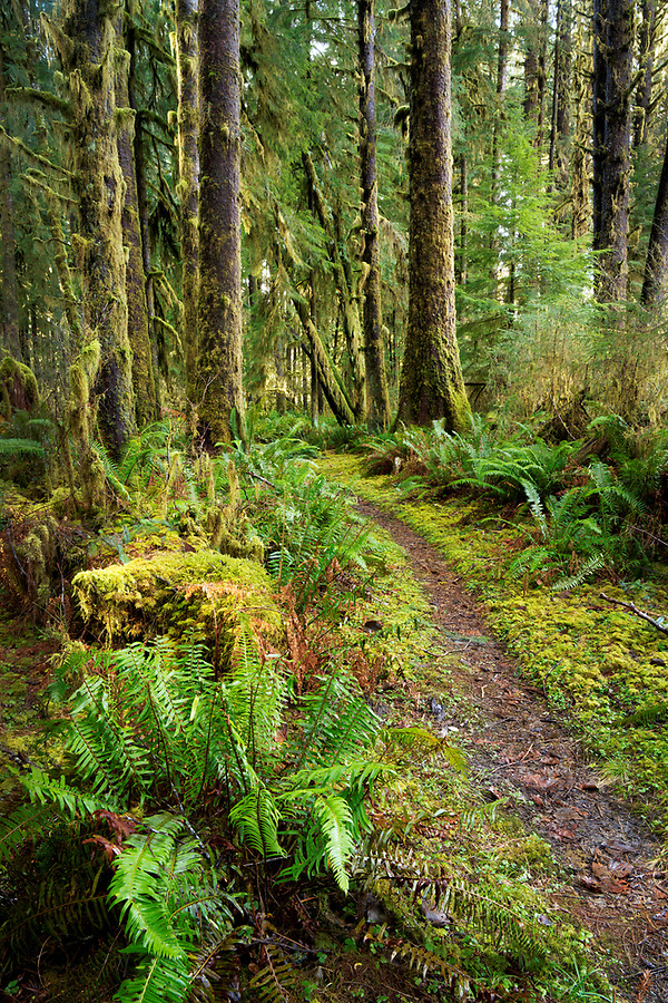 Sams River Loop Trail running through temperate old-growth forest, Queets rainforest, Olympic National Park, Jefferson County, Washington, USA