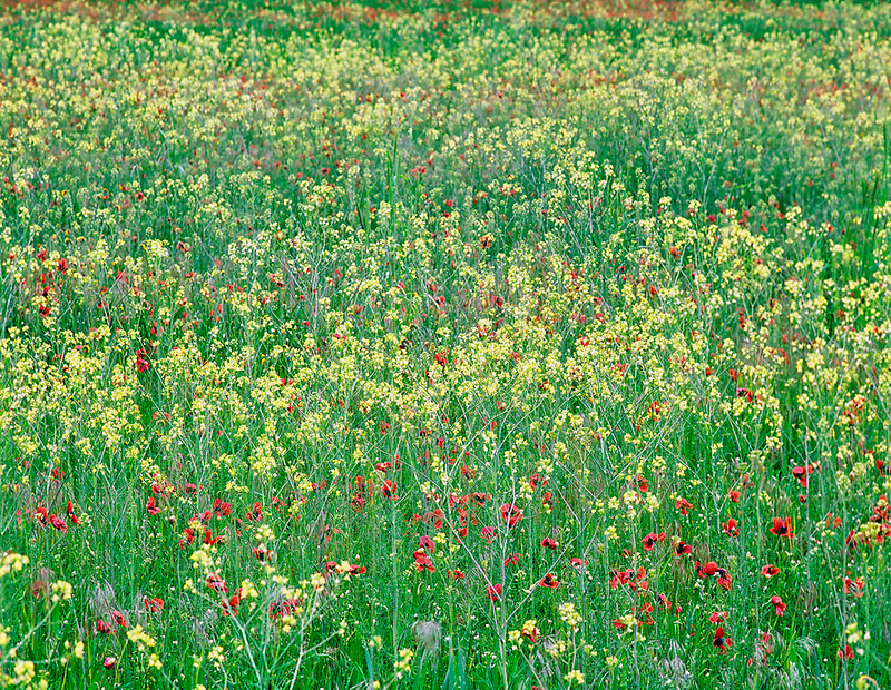 Poppies and mustard in field near Goldendale, Washington