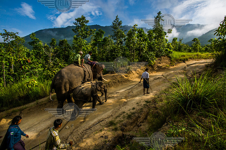 Nyaung Oo Thar, a captured four-year-old male wild elephant, is taken by mahouts and their trained elephants to Kin Thar elephant's camp where he will go through the process of cradle-taming and training to eventually become a logging elephant.