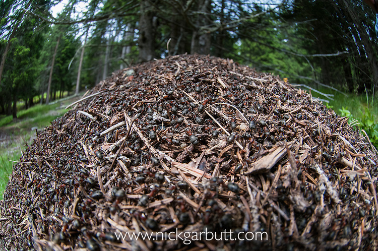 Wood Ant nest (Formica rufa) constructed from pine needles and other debris from the forest floor. Nordtirol, Austrian Alps, Austria, July.