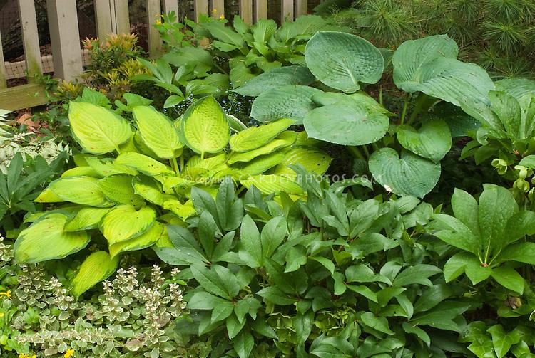 Hosta, Helleborus x nigercors, Ajuga reptans, Pieris, picket fence