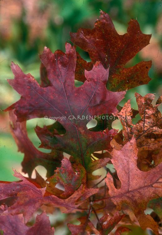 Scarlet Oak Leaves Quercus coccinea in autumn color