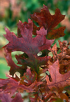 Scarlet Oak Leaves Quercus coccinea in autumn color