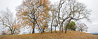 Panorama of Quercus kelloggii, California Black Oak trees in autumn on Pinheiro Fire Road, on ridge of Rush Creek Open Space, Marin County