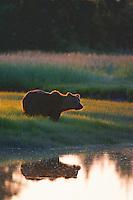 Alaska Brown Bear, Coastal Grizzly Grizzly Bear or brown bear alaska Alaska Brown bears also known as Costal Grizzlies or grizzly bears Grizzly Bear Photos, Alaska Brown Bear with cubs. Purchase grizzly bear fine art limited edition prints here Grizzly Bear Photo Bear Photos,