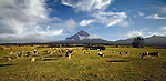 Dairy Cows near Mount Taranaki (Egmont). Taranaki New Zealand.