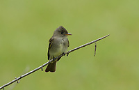 Western Wood-Pewee (Contopus sordidulus), adult, South Padre Island, Texas, USA