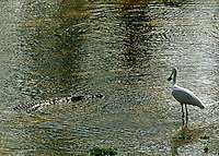 Crocodile waiting for a meal while an African Spoonbill watches in the South Luangwa Valley, Zambia Africa