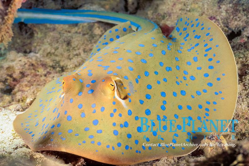 blue-spotted fantail (ribbontail) stingray or lagoon ray, Taeniura lymma, Mabul Island, Sabah, Malaysia (Celebes Sea)