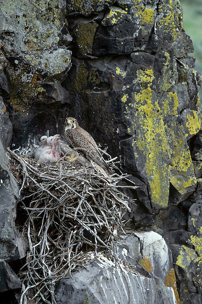 Prairie Falcon nest (nest built of old sagebrush limbs).  Great Basin, Washington.  May.