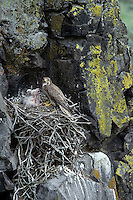 Prairie Falcon nest (nest built of old sagebrush limbs).  Great Basin, Washington.  May.