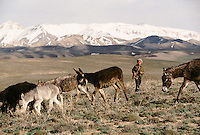 A Hazara Boy with is seven donkey's at 3000 meters high between Band e Amir and Nil Kowtal Pass, next to the road Bamiyan Yakawlang.  Hazarajat, Afghanistan.