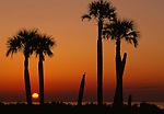 Palm trees, Cumberland Island, Georgia