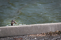 A domestic duck pops its head up and peers over the edge at the San Lorenzo Duck Pond.