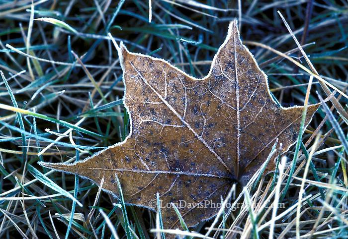 Frost on Fallen Leaf