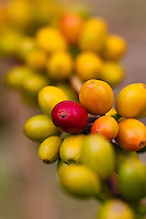 Ripening coffee cherries at a Kona coffee plantation on the Big Island