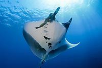 giant oceanic manta ray, Mobula birostris, formerly Manta birostris, with remora, suckerfish, Remora remora, San Benedicto, Revillagigedo (Socorro) Islands, Mexico, East Pacific Ocean