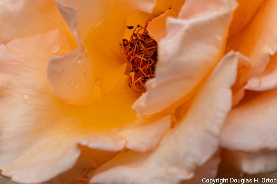 Peach colored rose, close up, at Point Defiance Park Rose Garden, Tacoma, Washington.  Rose petals, rose stamen, rose water, macro, close up.