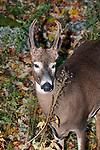 Whitetail Deer buck, medium shot vertical