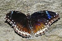 Common Blue Morpho Butterfly, Morpho peleides
