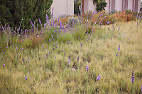 Lawn substitute front yard base grasses of Blue grama grass (Bouteloua gracilis) and Spike Muhly (Muhlenbergia wrightii) in New Mexico short grass meadow garden with Liatris (Gayfeather); design by Judith Phillips