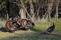 Three Tom Turkeys strutting for the hen, San Angelo, Texas