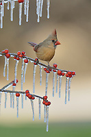 Northern Cardinal (Cardinalis cardinalis), adult female perched on icy branch of Possum Haw Holly (Ilex decidua) with berries, Hill Country, Texas, USA