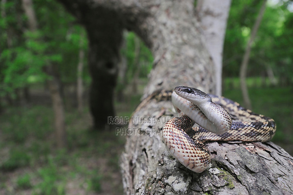 Texas Rat Snake (Elaphe obsoleta lindheimeri), adult on pecan tree, Refugio, Coastel Bend, Texas, USA