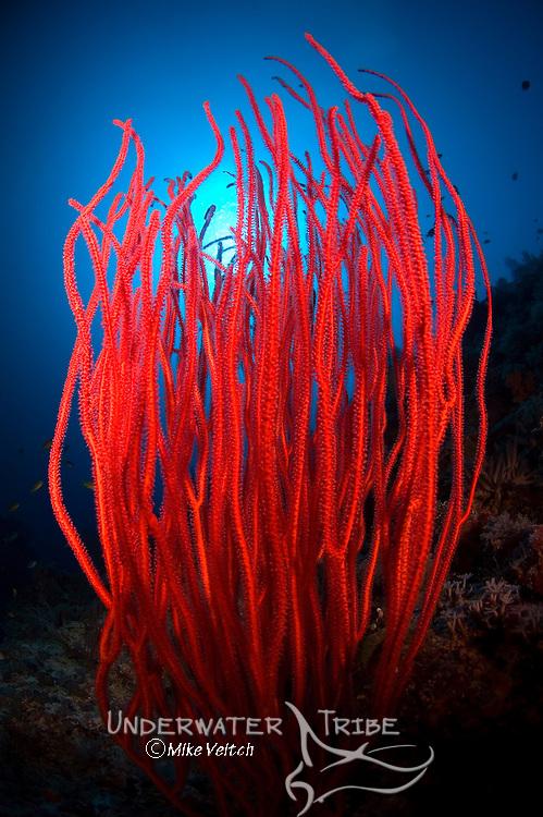 Red sea whips, Menella sp., Layang Layang atoll, Sabah, Borneo, Malaysia, South China Sea, Pacific Ocean