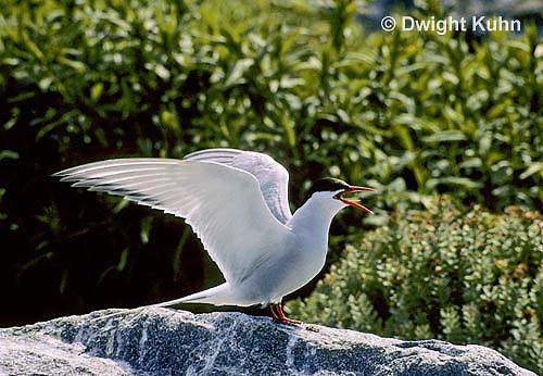 MC78-001z  Arctic Tern - calling - Machias Seal Island, Bay of Fundy - Sterna paradisaea