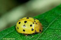 1C31-023x   Mexican Bean Beetle - adult - Epilachna varivestis