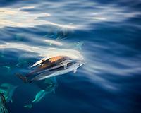 striped dolphin, Stenella coeruleoalba, bow-riding, Atlantic Ocean