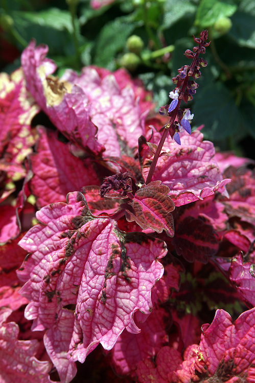 Coleus plant provide colot to a flower bed.  The flower is relatively insignifcant compared to the colorful leaves.