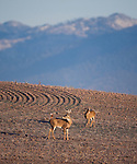 Whitetail buck and doe in a crop field in Montana