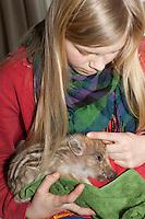 Wildschwein, verwaistes, pflegebedürftiges, in Menschenhand gepflegtes, zahmes Jungtier lebt mit im Haus, liegt auf dem Arm, Wild-Schwein, Schwarzwild, Schwarz-Wild, Frischling, Junges, Jungtier, Tierkind, Tierbaby, Tierbabies, Schwein, Sus scrofa, wild boar, pig