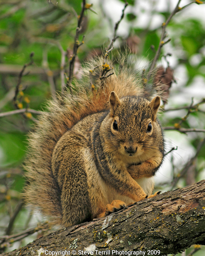 Red squirrel on branch in tree at Pic-E Zone Wetland Natural Area in Multnomah County Oregon