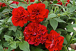PETUNIA 'DOUBLE WAVE RED'