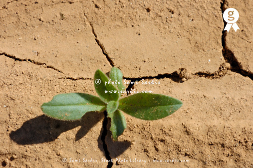 Green plant on dry cracked ground in summer (Licence this image exclusively with Getty: http://www.gettyimages.com/detail/94466883 )